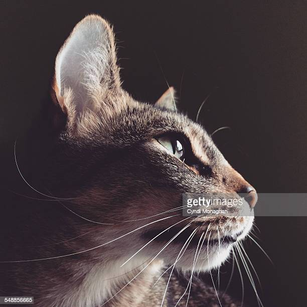 tabby cat portrait - whisker stock pictures, royalty-free photos & images