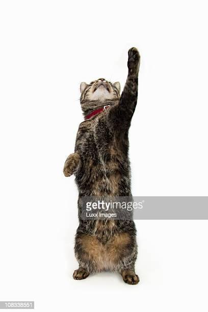 Tabby cat reaching up