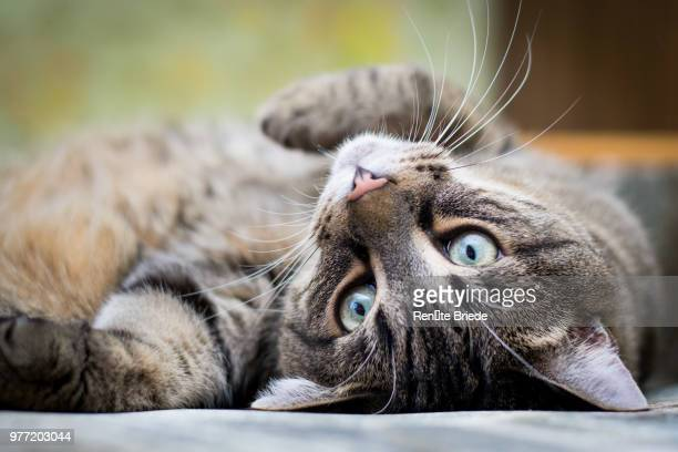 tabby cat relaxing, mazsalaca, latvia - green eyes stock pictures, royalty-free photos & images