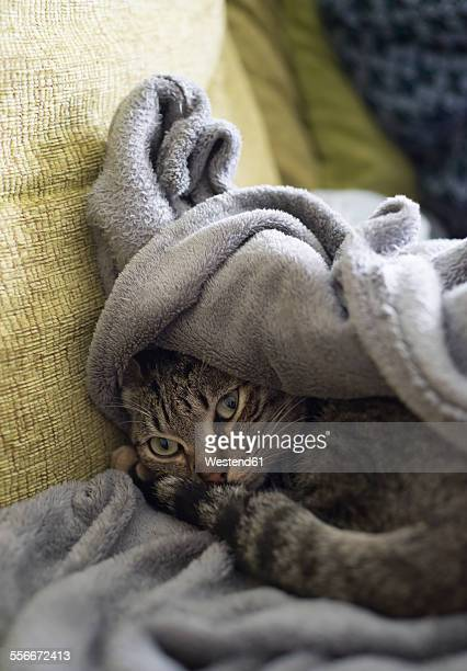 Tabby cat resting on a sofa