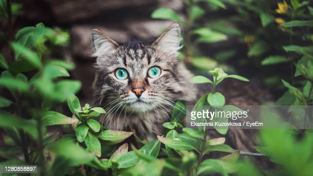 a tabby cat sits in the garden and looks out of the bushes. walking pets in nature in the park - animal whisker stock pictures, royalty-free photos & images