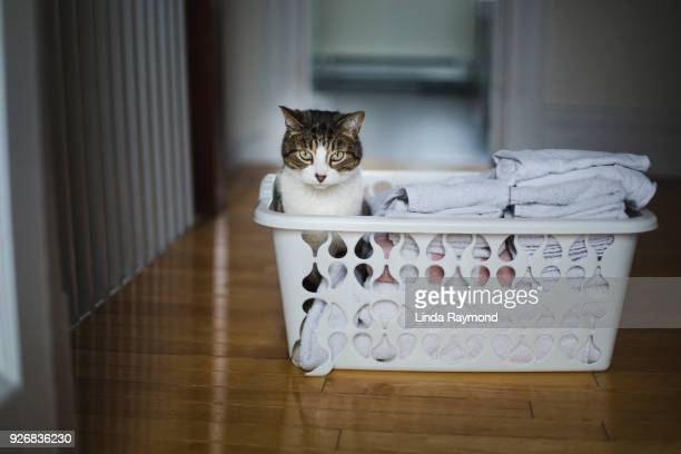 Tabby cat sitting in a laundry basket