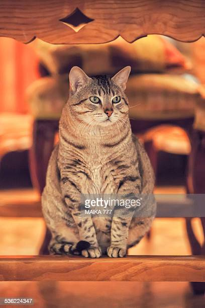 Tabby cat sitting under the table