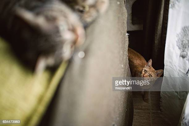 Tabby cat stalking other cat at home