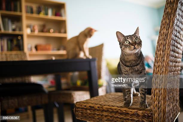 tabby cat standing on wicker chair while kitten sitting on table in the background - dos animales fotografías e imágenes de stock