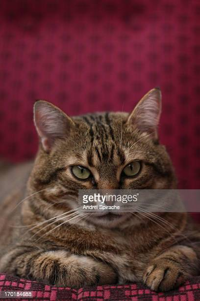 Tabby cat staring into the camera