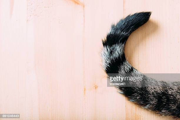 Tabby cat tail on wood