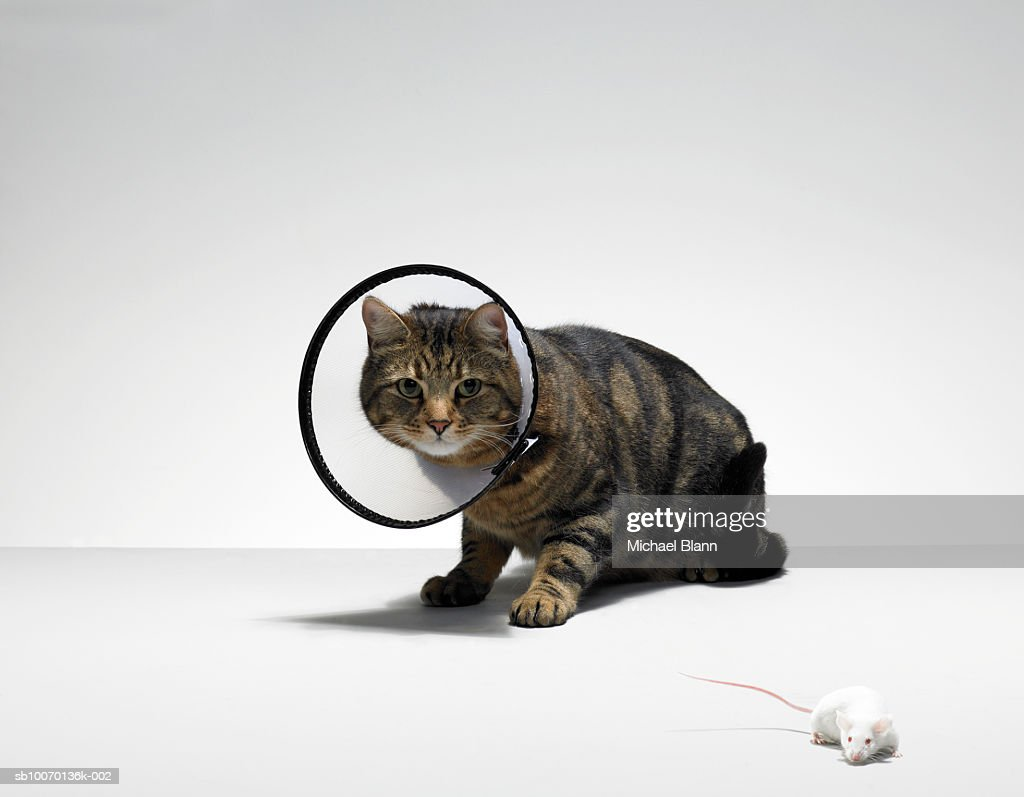 Tabby cat wearing medical collar looking at mouse : Stock Photo
