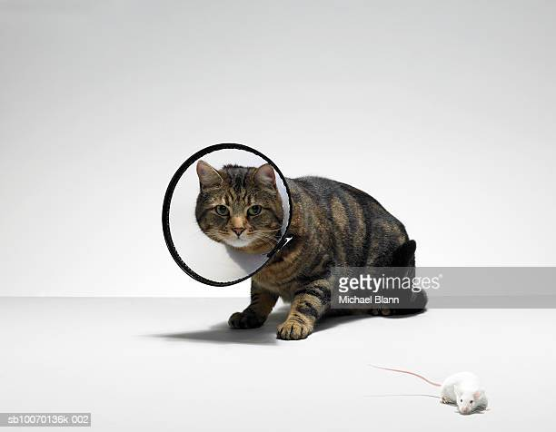 Tabby cat wearing medical collar looking at mouse