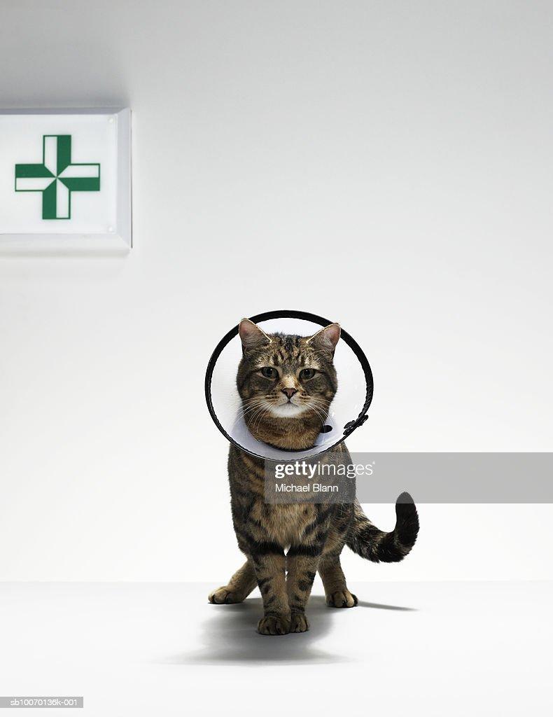Tabby cat wearing medical collar. : Stock Photo