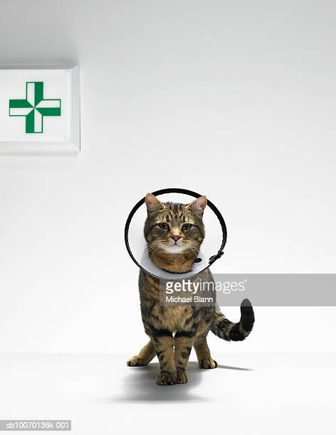 tabby cat wearing medical collar. - elizabethan collar stock photos and pictures