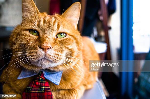 Tabby cat with tie
