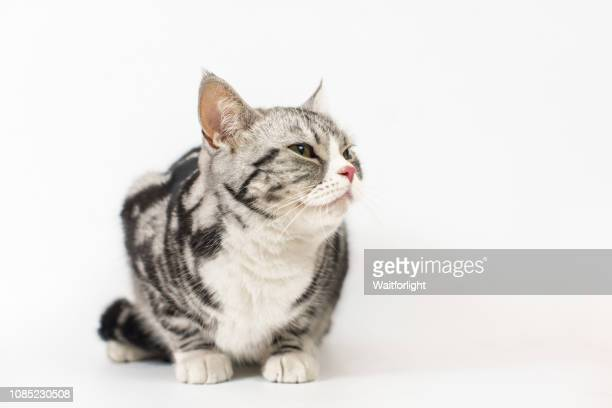 tabby cat with white background - shorthair cat stock pictures, royalty-free photos & images