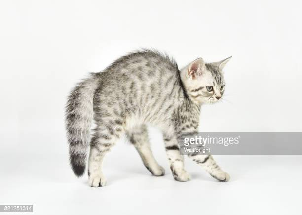 Tabby kitten arching its back and hissing, close-up, side view