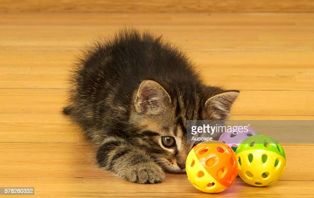 Tabby kitten Felis catus playing with hollow balls