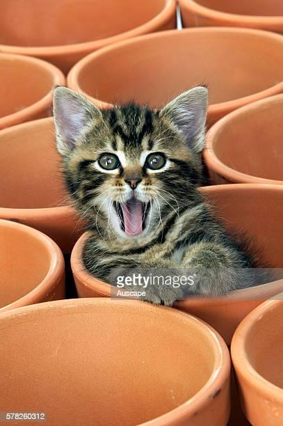Tabby kitten Felis catus sitting in terracotta flowerpot miaowing studio photograph