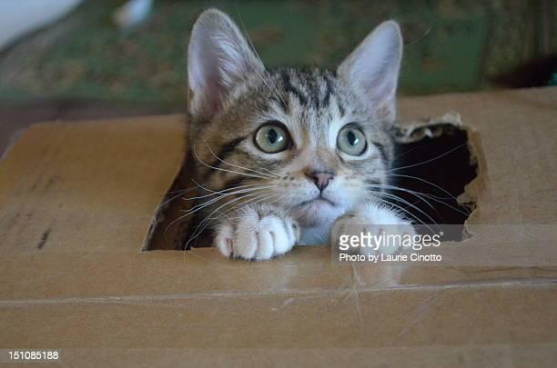 Tabby kitten in box