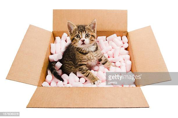 tabby kitten  in the box