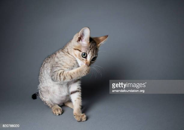 tabby kitten licking his paws - the amanda collection - amandafoundationcollection foto e immagini stock