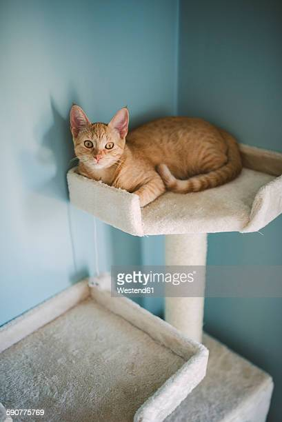 Tabby kitten lying on scratching post at home