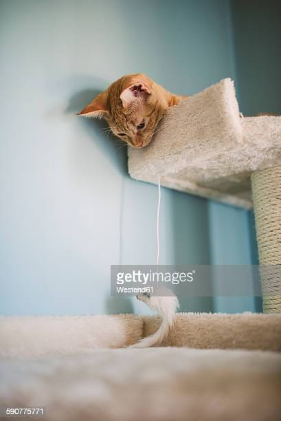 Tabby kitten lying on scratching post watching cat toy