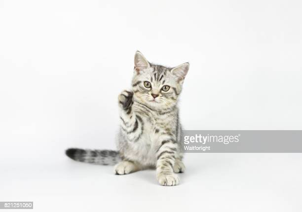 Tabby Kitten pawing at air