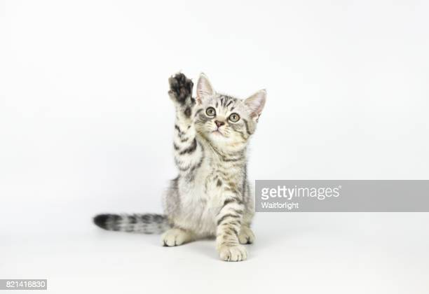 tabby kitten pawing at air - kitten stock pictures, royalty-free photos & images