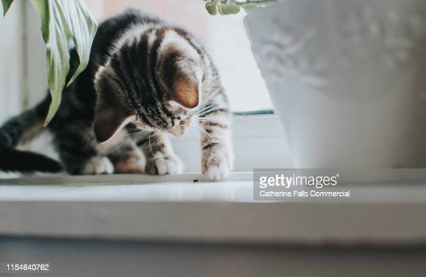 tabby kitten playing with a fly. - curiosity stock pictures, royalty-free photos & images