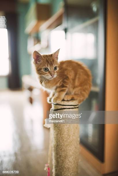 Tabby kitten sitting on the top of scratching post at home