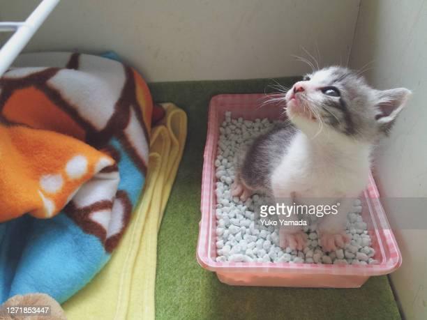 tabby kitten urinating in a portable cat toilet - animal doméstico fotografías e imágenes de stock