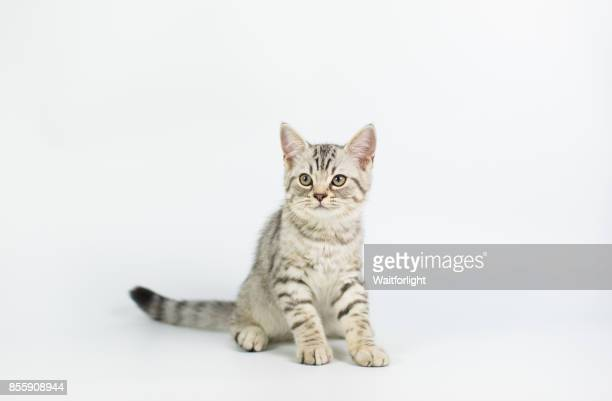 Tabby Kitten with white background