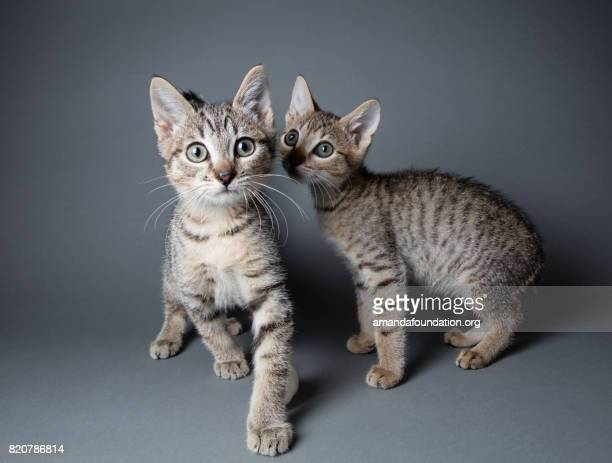tabby kittens - the amanda collection - amandafoundationcollection foto e immagini stock