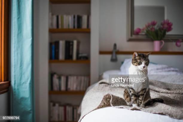 tabby op een bed