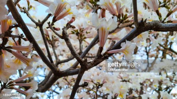 tabebuia roseo-alba flowering. - crmacedonio stock pictures, royalty-free photos & images