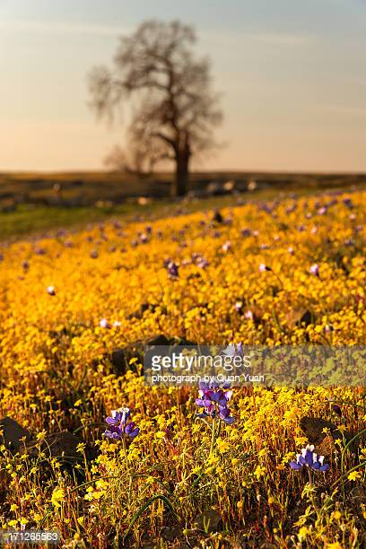 table mountain flowers - yuan quan stock pictures, royalty-free photos & images