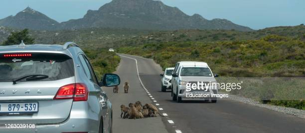 Table Mountain National Park, Cape Peninsula, South Africa, A family of baboons in the middle of the road holding up traffic close to Cape Point.