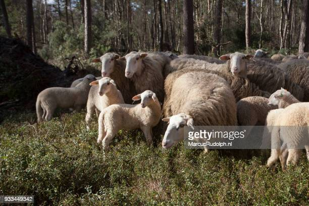 Tableau of lambs and sheep in forest