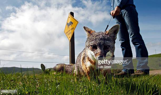 AVALON CALIF – MAR1 2010 Tachi a Catalina Island fox raised in captivity goes for a walk near a sign that warns motorists to watch for Tachi's wild...