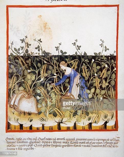 Tacuinum Sanitatis 14th century Medieval handbook of health Farmer gathering a green beans Miniature Fol 50v