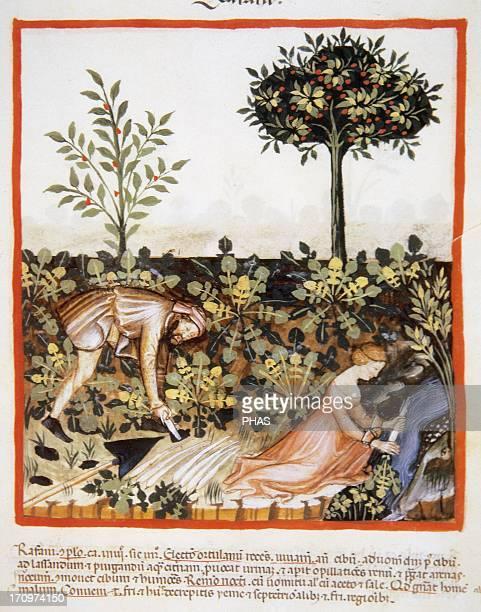 Tacuinum Sanitatis 14th century Medieval handbook of health Man gathering turnips Woman cleaning turnips in a river Miniature Fol 52 r