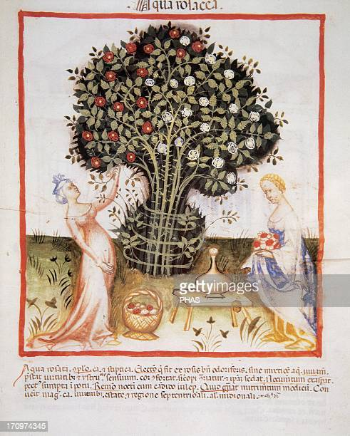 Tacuinum Sanitatis 14th century Medieval handbook of health Women taking roses to make rose water with its petals Folio 93r