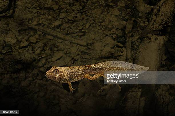tadpole - bullfrog stock pictures, royalty-free photos & images
