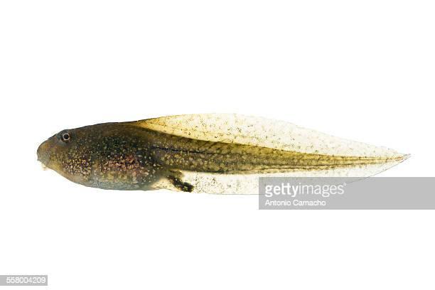 tadpole - huevos de rana fotografías e imágenes de stock