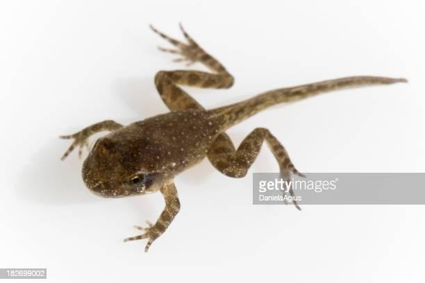 Tadpole transforming into a frog