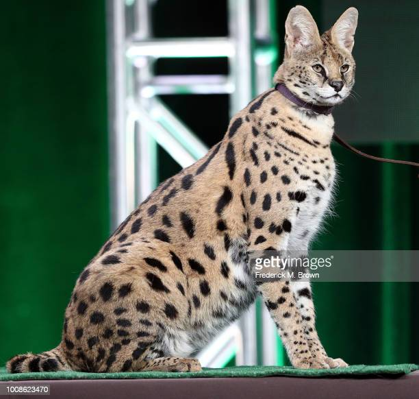 Tag an African serval cat of the television show Super Cats A Nature Miniseries on stage during the PBS segment of the Summer 2018 Television Critics...