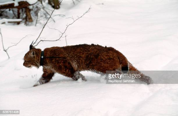 tagged lynx in snowy woods - bialowieza forest stock pictures, royalty-free photos & images