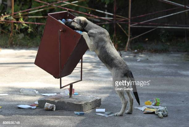 A tagged stray dog sniffs for food in a trash can outside the workers cafeteria inside the exclusion zone at the Chernobyl nuclear power plant on...