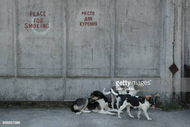 Tagged stray dogs lounge outside a cafeteria at the Chernobyl nuclear power plant on August 19 2017 near Chornobyl Ukraine An estimated 900 stray...