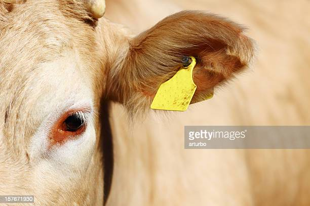 tagged young cow ear - cow eyes stock pictures, royalty-free photos & images