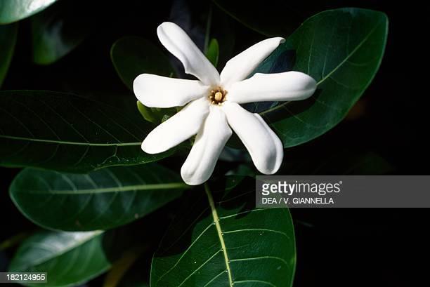 Tahitian Gardenia or Tiare Flower Rubiaceae Marquesas Islands French Polynesia